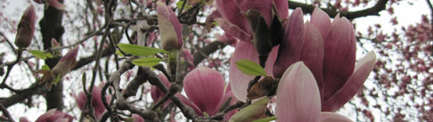 8c7a3e5be69c04f3e115_magnolia.jpg
