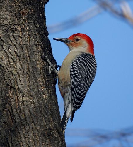 d9663616a0a031f10139_woodpecker.jpg