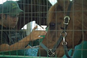 Alpacas, Cows, Trains, Oh My: 4-H Fair Returns to Bridgewater, photo 4