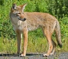 0483dab19ef54b0fb33b_coyote.jpg