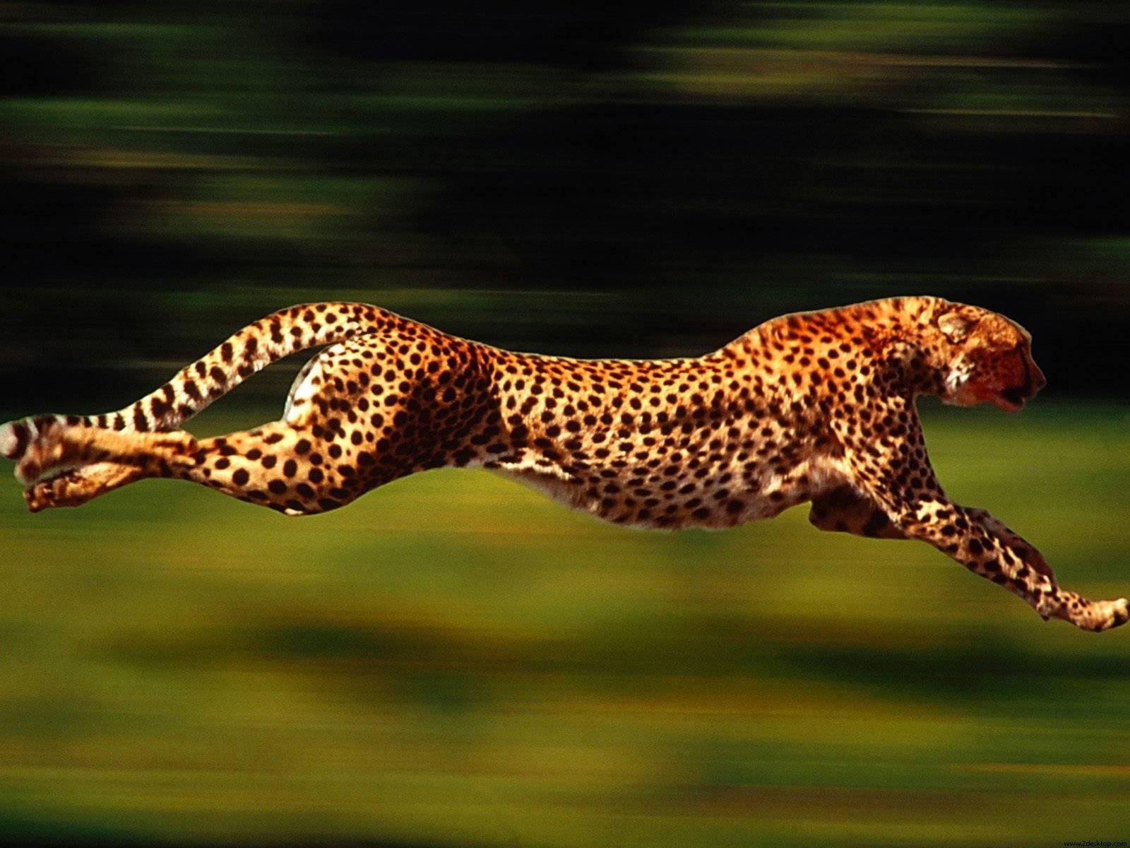 05b444ced7279548150d_Cheetah.jpg