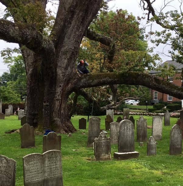 Pruning Of Basking Ridge Historic Oak Due To Take Place