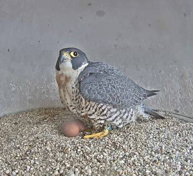 0d48e595687ea9cae0a3_Falcon_with_two_eggs_April_2_2018.JPG