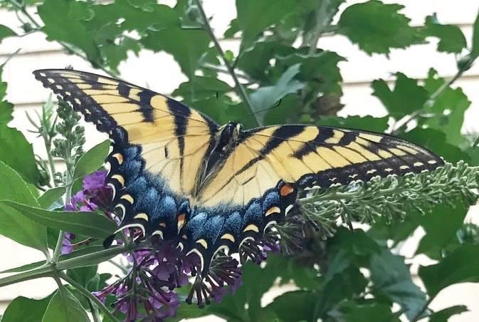 23237dd22c81e2f4e766_hillspixbutterfyswallowtail.JPG