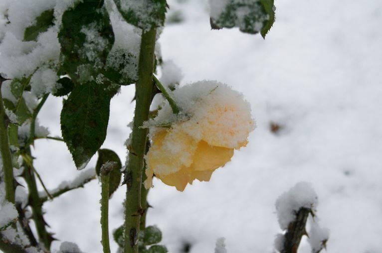 3db1bf21ca659a40119b_Brookdale_Park_Yellow_Rose_Snow.JPG