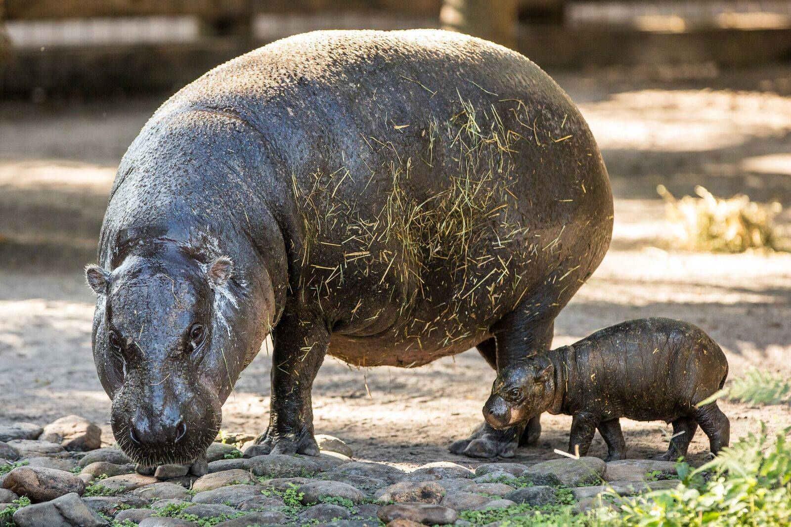 540bf088f65fa54c6d6c_pygmy_hippo_baby_HiRes_34_preview.jpeg