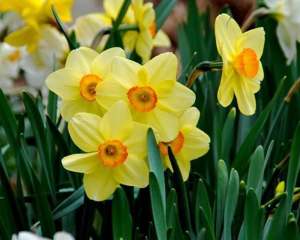 74c80cc69d5458ccda2c_Daffodils.jpeg