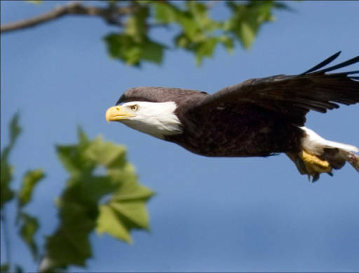86590fc3ababddf321a7_Bald_Eagle_via_US_FWS.jpg