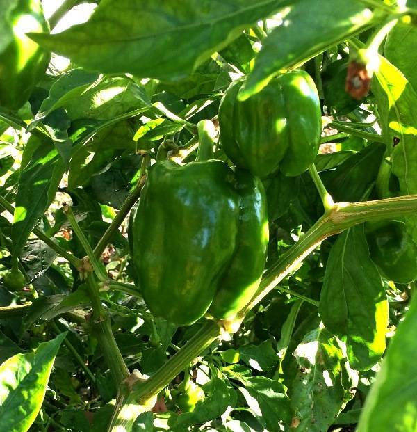 97645eb4daa6c583a4e6_Green_peppers.JPG