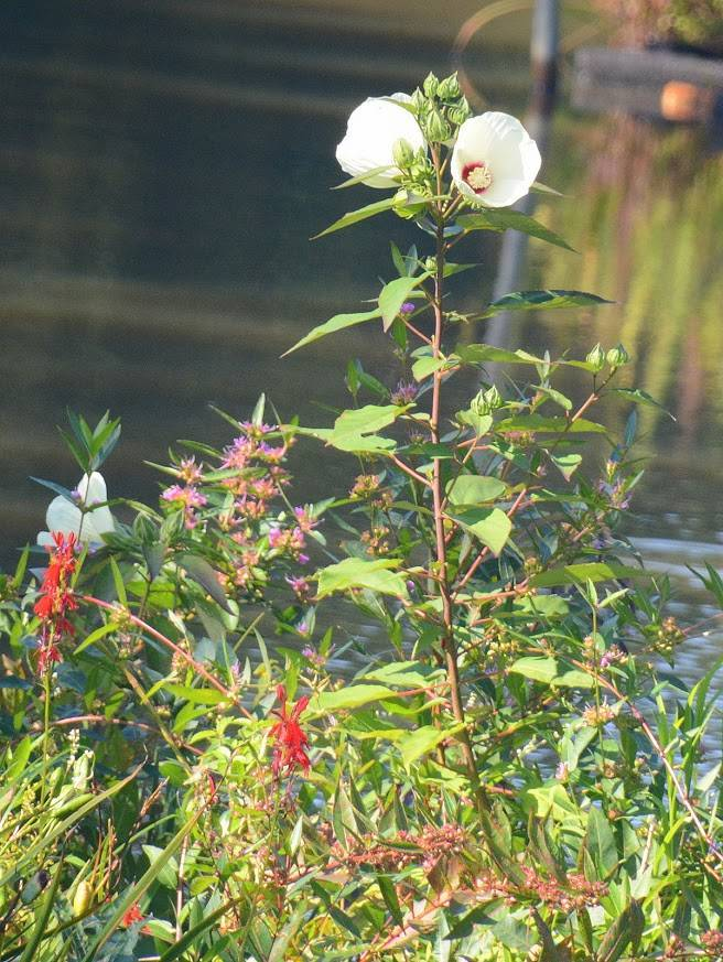 a6fee57e0687babf055d_AAP_wetlands_project_flowers.JPG