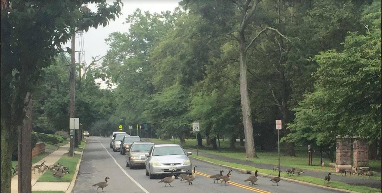 a75d6311c24fd534062a_Geese_Crossing_Passaic_Avenue.JPG