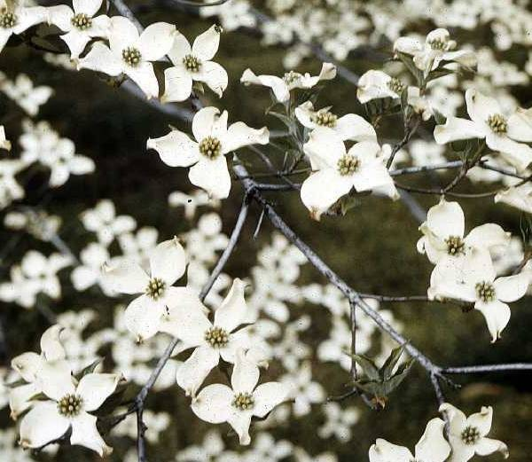 c05160544ac9464ee4a5_62f5e6024c43ca8748f6_Flowering_Dogwood_via_USDA.jpg