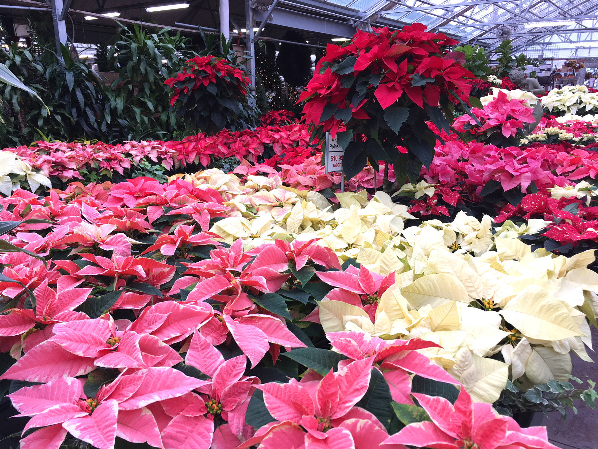 Advice from The Farm at Green Village: How to get Your Poinsettia to Rebloom - Chatham NJ News ...