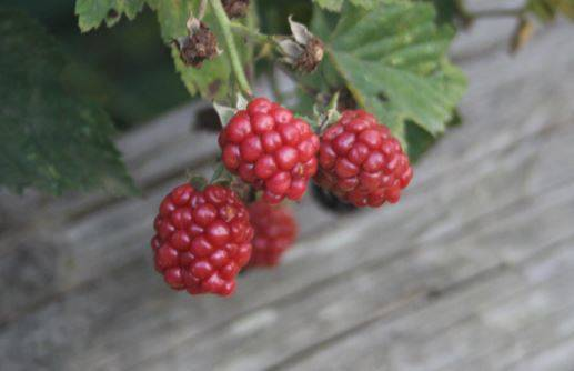 cc2d244d29ad4c1f1b7a_Berries_in_the_Kingsland_Manor_Garden.JPG