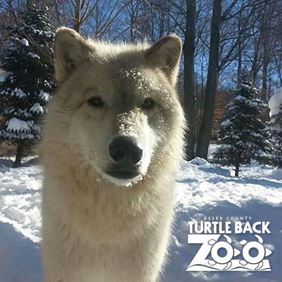 4b52b1971c608eccb1de_Turtle_Back_Zoo_Wolf_Snow.jpg