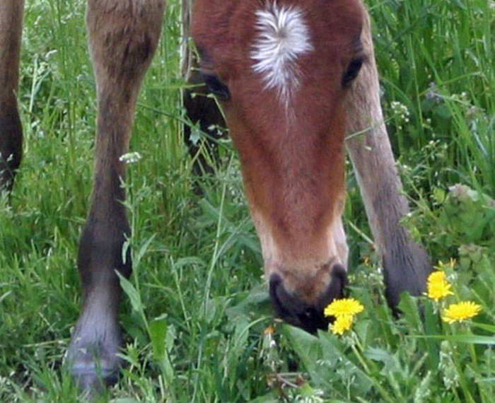 5016a6589f524be845a7_foal_with_dandelions.jpg