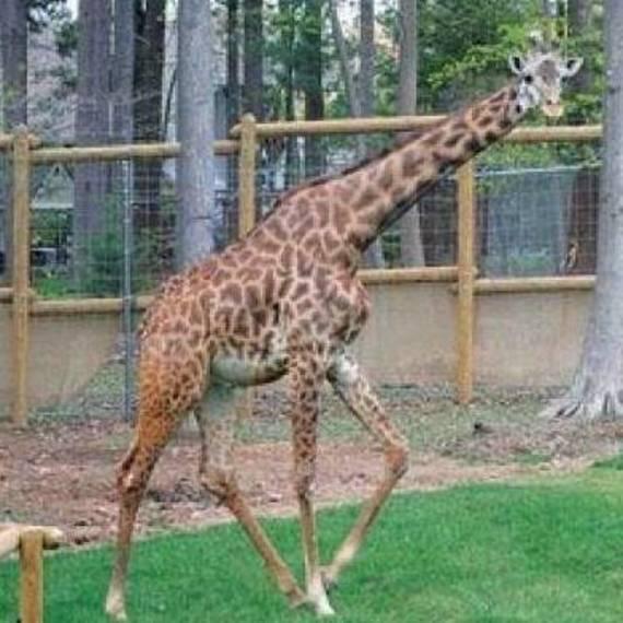 'Beloved' giraffe at New Jersey zoo dies during medical procedure