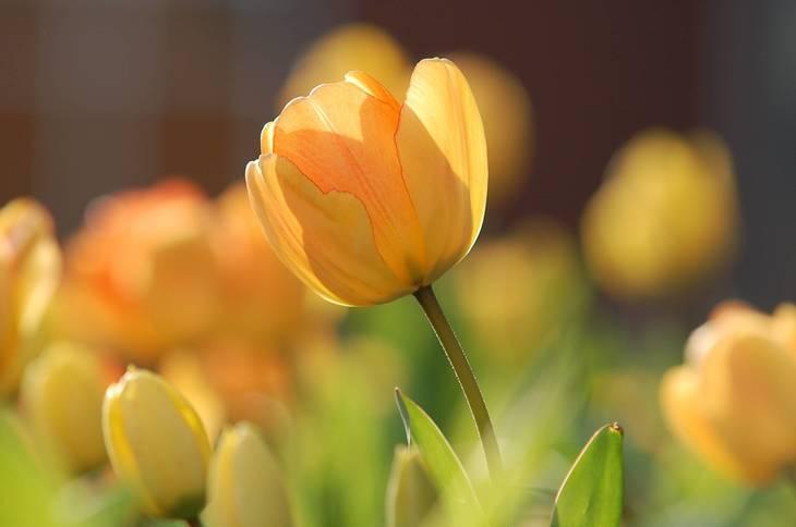 571676f8e00aac66620e_tulip-690320.jpg