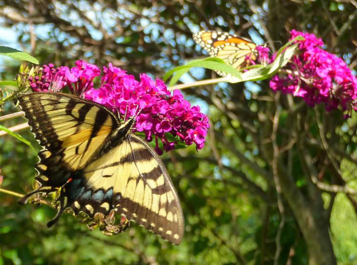 5af8a5fb3bf13c64ec71_Swallowtail.Monarch2012.jpg