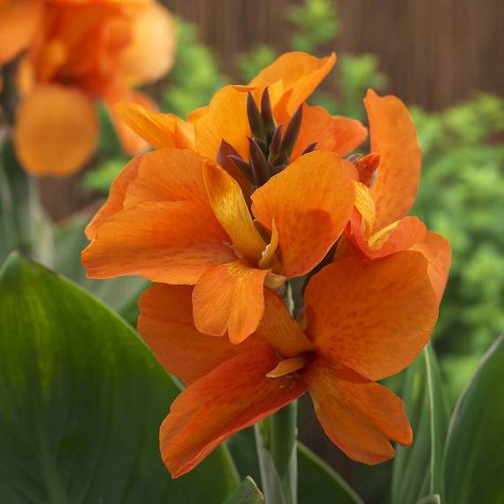 75228dc567440faa4526_Canna_SouthPacificOrange_AmericanTakii_All_America_Selections.jpg
