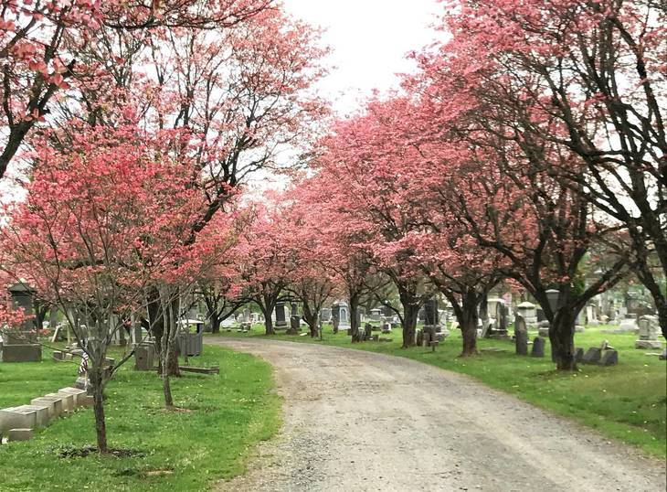 Somerville: Pink Dogwoods Form Canopy Over Elm Avenue in Historic New Cemetery