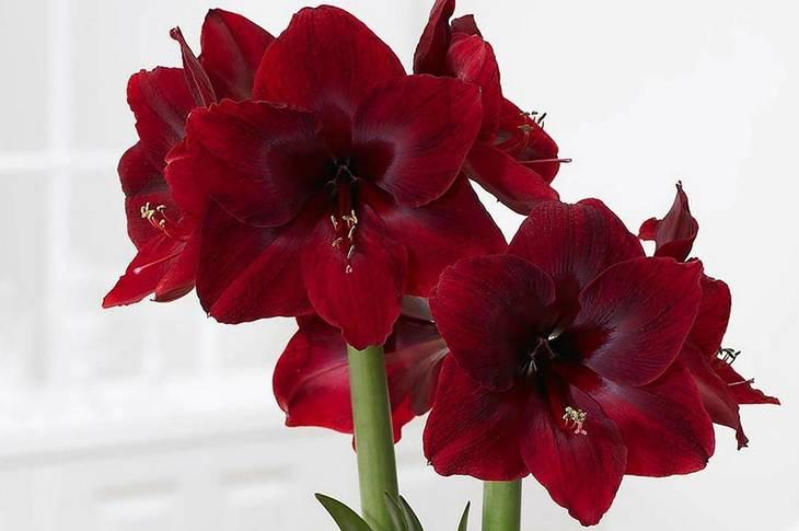 80e0ba2c243a44320a4a_d5554489c831ebf802c4_Amaryllis_Red_Pearl_photocredit_Longfield_Gardens.jpg