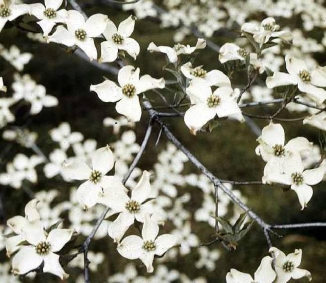 86ab831860dd76619cf1_Flowering_Dogwood_via_USDA.jpg