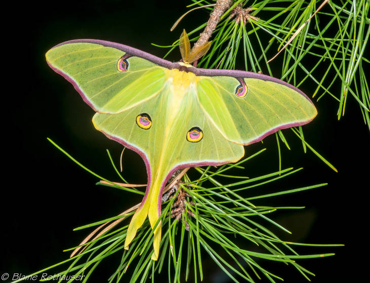 8dba01aaf5dd2964960c_Luna_Moth_on_Pines_Perfect_.jpg