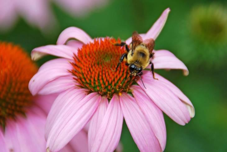 8fc152ddbc53eb1700a4_Bee_on_Coneflower.jpg
