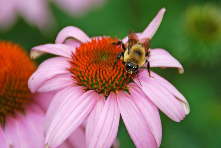 8fc152ddbc53eb1700a4_Bee_on_Coneflower.jpg