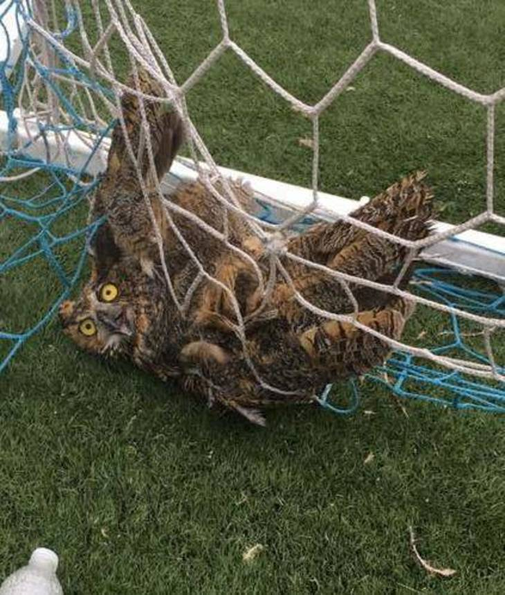 Owl Caught in Net at Clark's ALJ in Guarded Condition