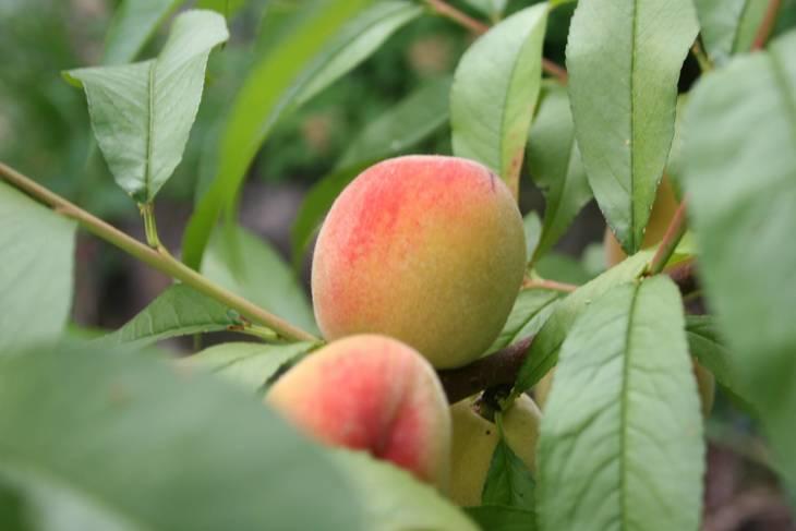 bdf74e00f7459c73079a_1_1_1_peaches.jpg