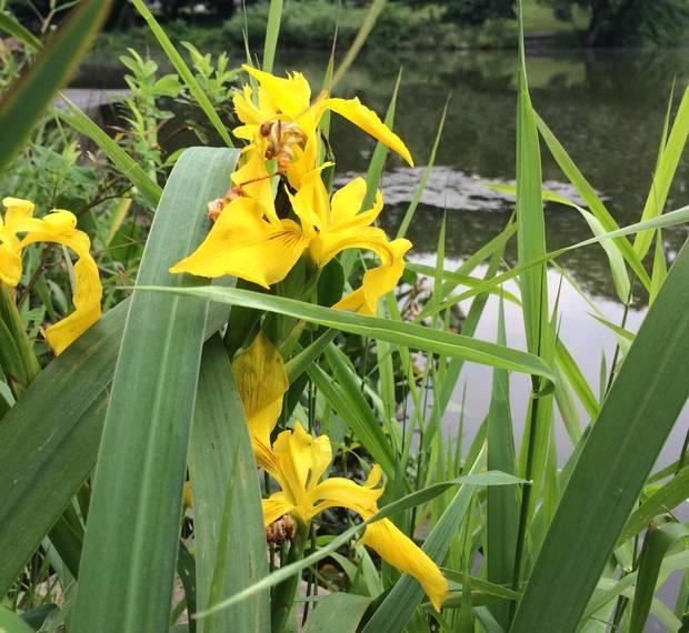d16e5d51ff0d915ed9c6_Yellow_iris.JPG