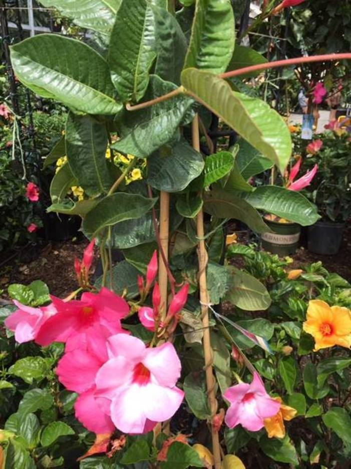 Growing Mandevilla: Advice From The Farm At Green Village: Growing Mandevilla