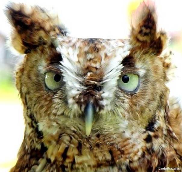 eb94f35f9517af83decc_Bio-Blitz_owl_by_Linda_Brazaitis.jpg