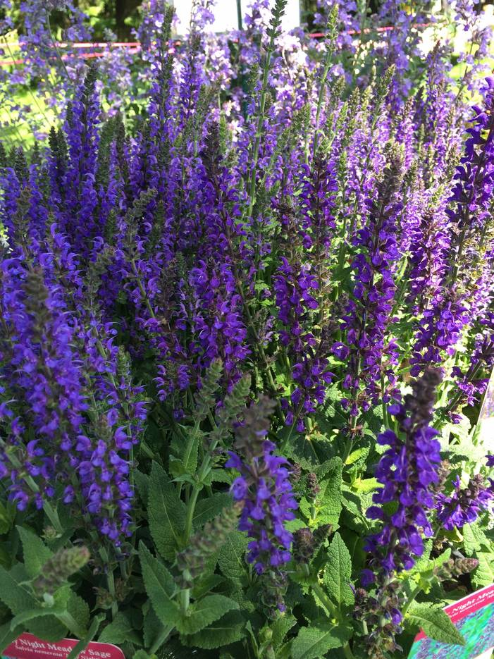 ed8be003e52f210adbdc_Garden_Fair_purple_flowers.jpg