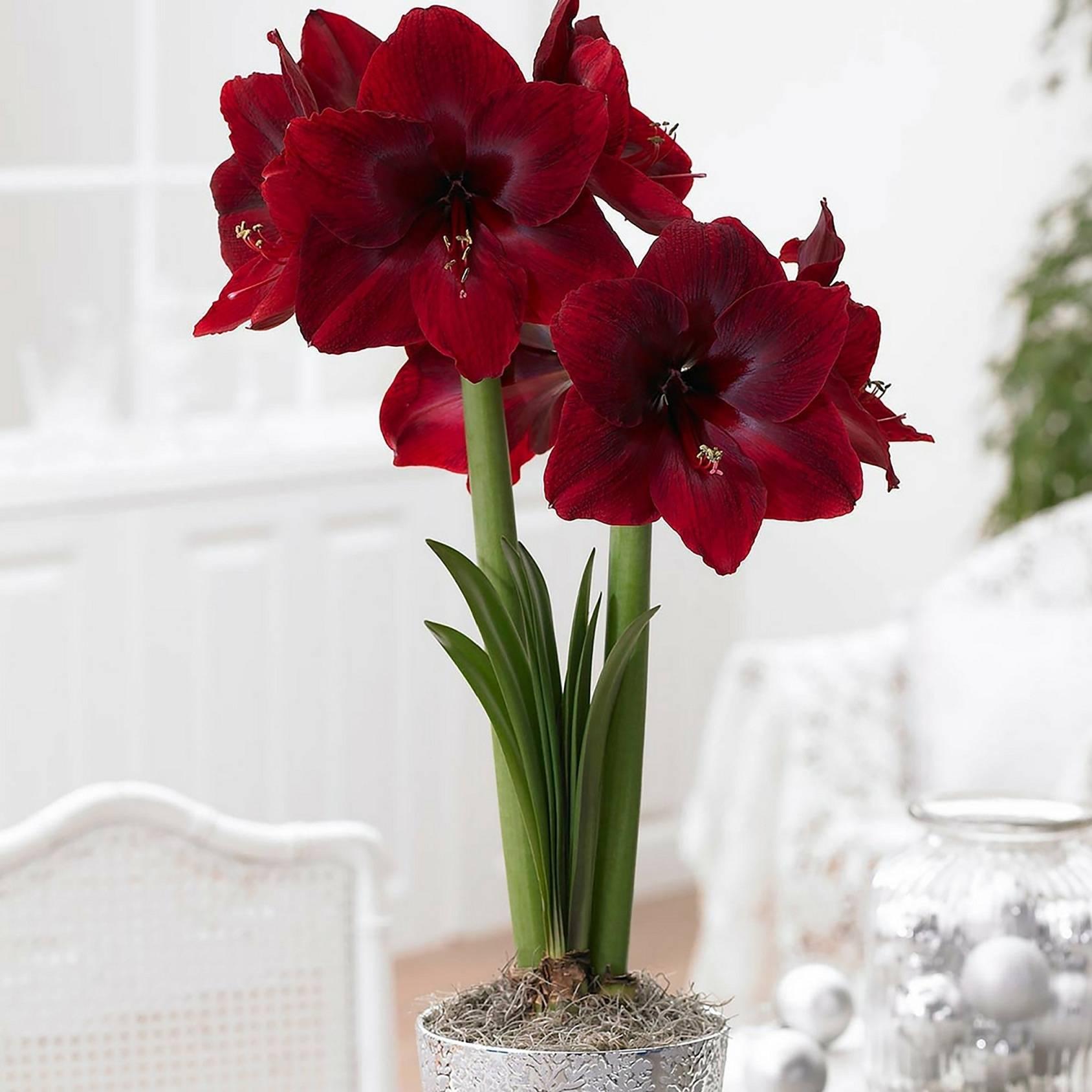 d5554489c831ebf802c4_Amaryllis_Red_Pearl_photocredit_Longfield_Gardens.jpg