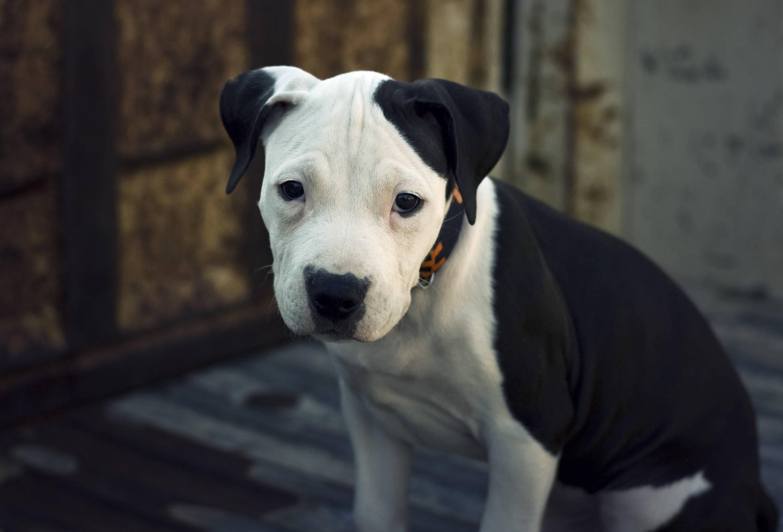 d6a21ede04155d887df7_415eec546b4872112fc0_American_Pit_Bull_Terrier_Pup.jpg