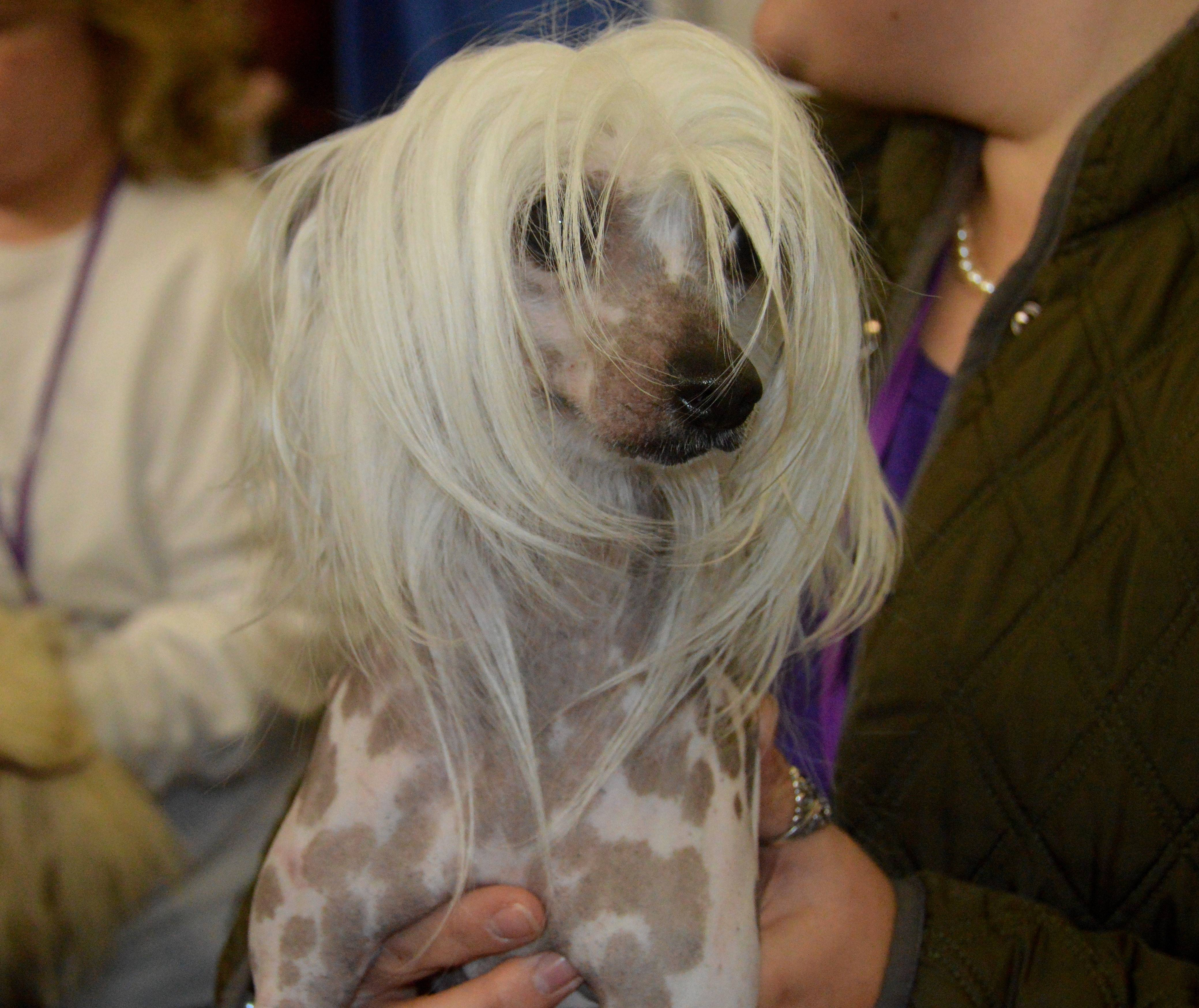ecd1a4680f32fd6d6452_WD-_Chinese_Crested.JPG