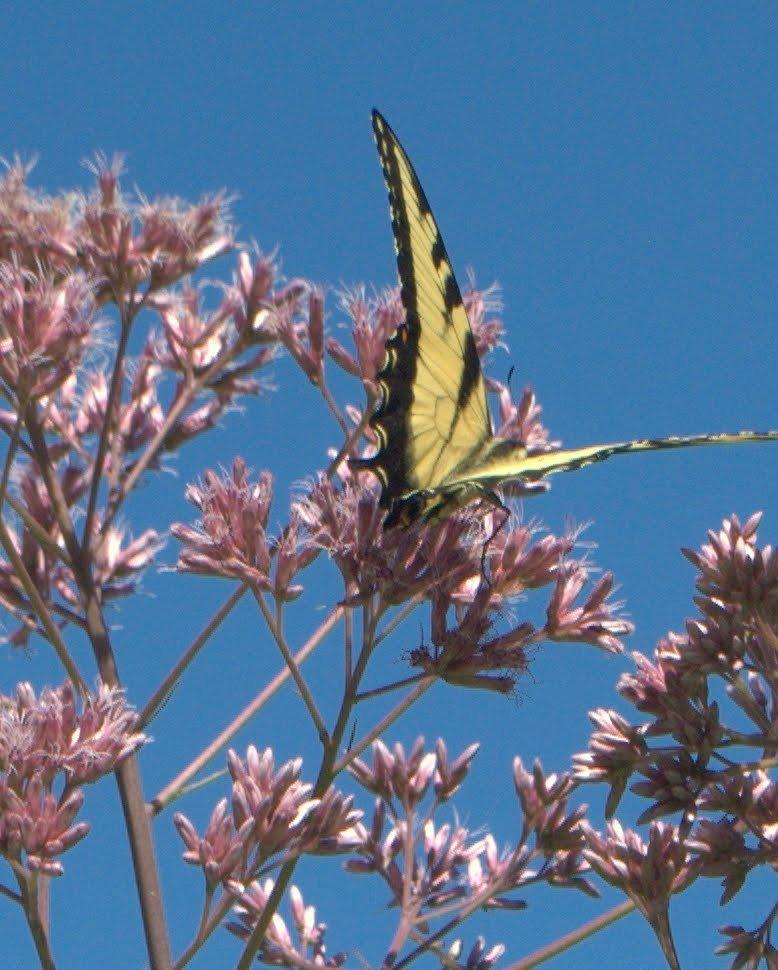 1f8b62f36cf52e75d8eb_warinanco_Tiger_Swallowtail.jpg