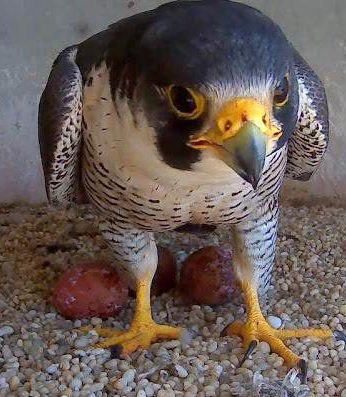 f7b8f70a8cf20376cfcd_Falcon_with_3_eggs_2016.jpg