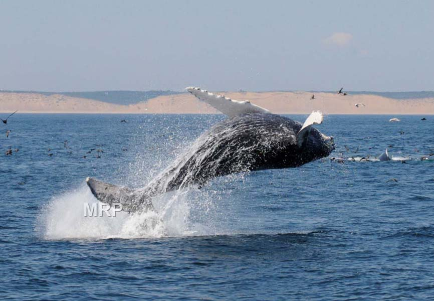 56f50e17aa96691de4f2_MichaelPeterson-whale-_breaching.jpg