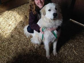 Two Great Pyrenees Dogs Found in Richlandtown