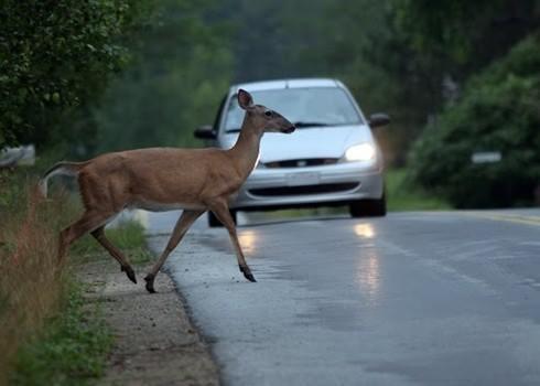 ff2bdd80d2901d5e4266_Deer_in_road.jpg