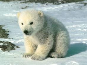 Carousel_image_973c0557a50ad7e6e657_cute-polar-bear