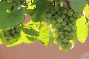 Carousel_image_02f8f46e077463addf24_white_grapes