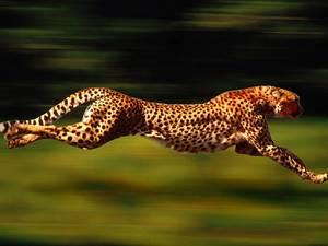 Carousel_image_05b444ced7279548150d_cheetah
