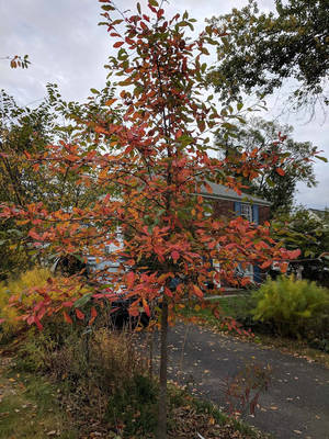 Carousel image 1109fd3ed8ff9851f7f0 young black gum tree in front of a chatham home