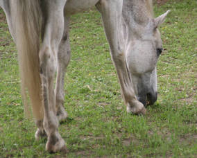 Carousel_image_1e29f95e43bdd9ec2952_horse_grazing