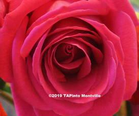 Carousel_image_280af15ab7316c581bc6_rose__2019_tapinto_montville